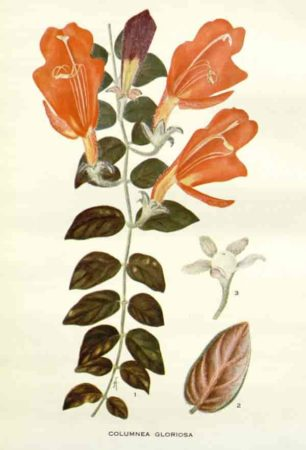 columnea gloriosa botanical plate