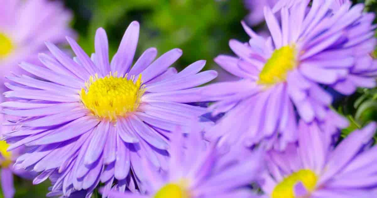 composite aster flower