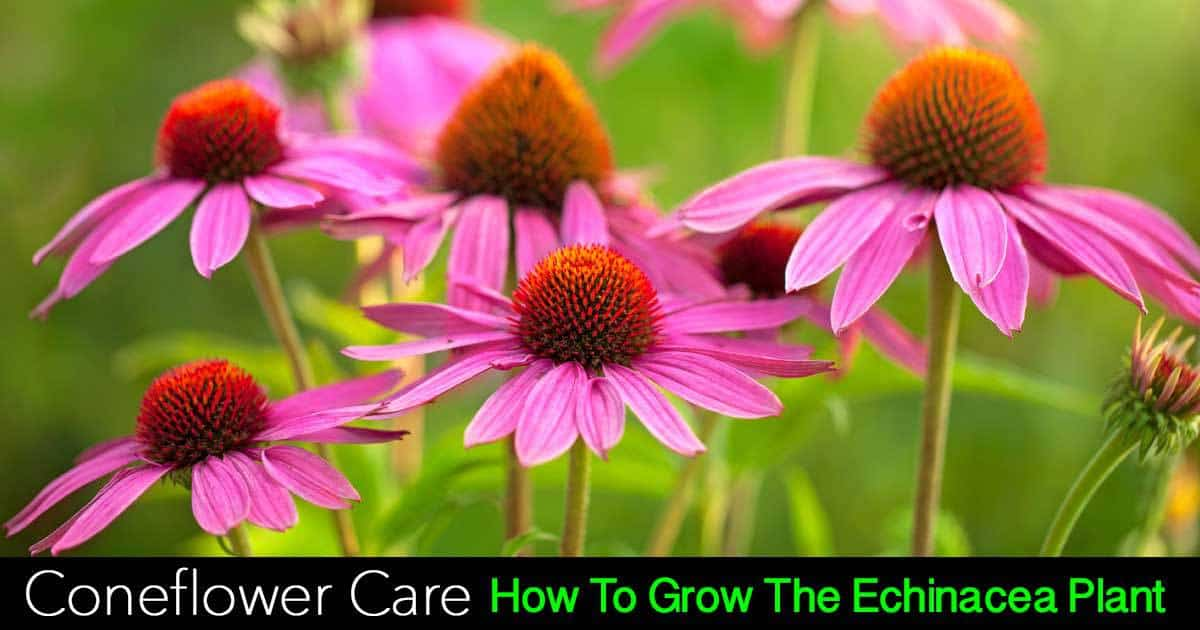 coneflower care echinacea plant