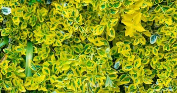 Attractive Mirror Plant