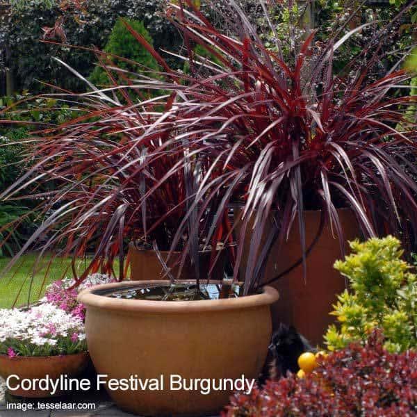 cordyline festiva -burgundy