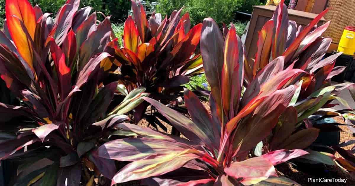 colorful leaves of the cordyline fruticosa