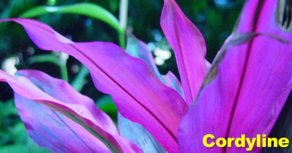 bright colorful leaves of cordyline plant