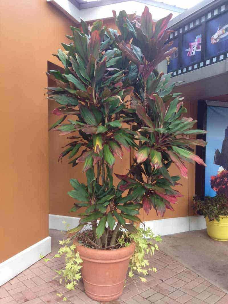 Tall cordyline plant (8 feet tall) in large pot Legoland, Orlando Florida Sept 2016