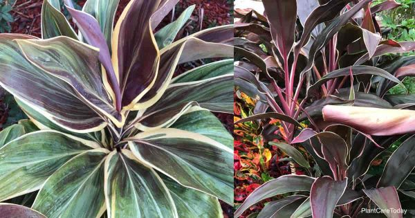 Creamy edges of unknown cordyline plant varieties