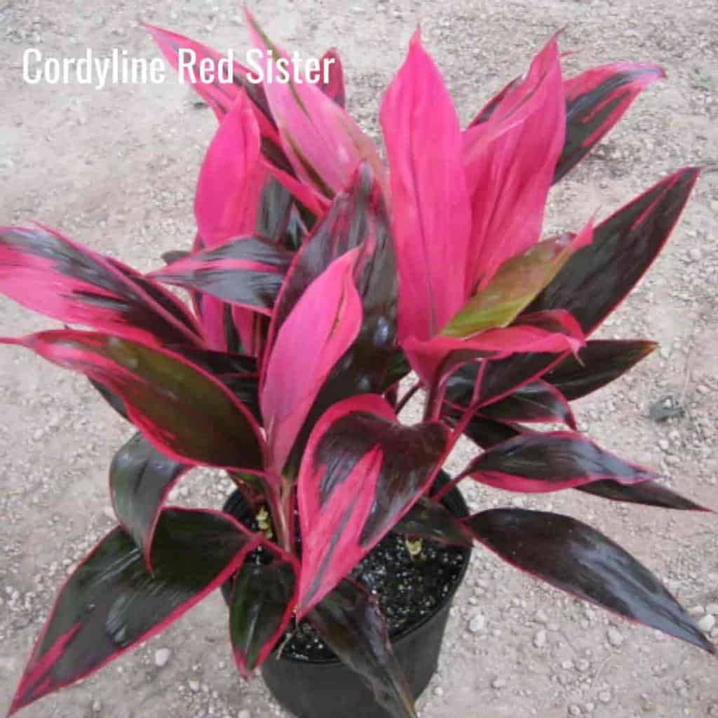 bright colors of the Dracaena Cordyline Red Sister