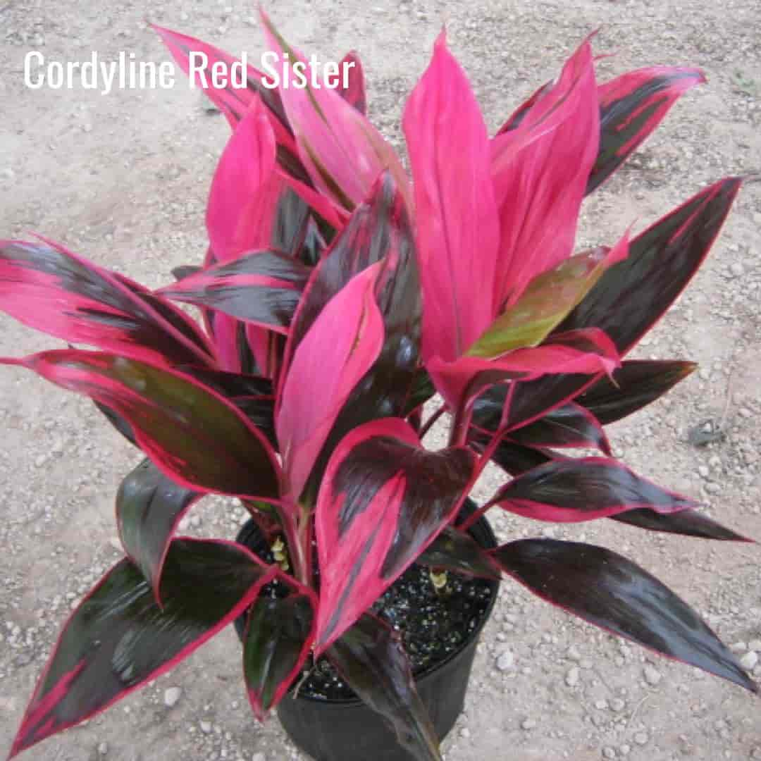 Brightly colored leaves of the Cordyline Red Sister