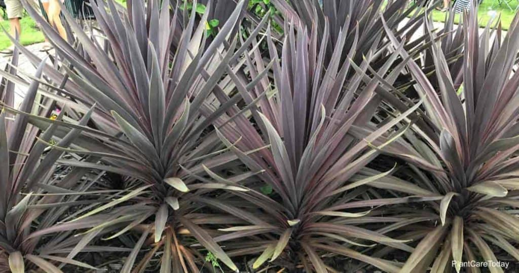 Cordyline red star growing in Palm Coast Florida