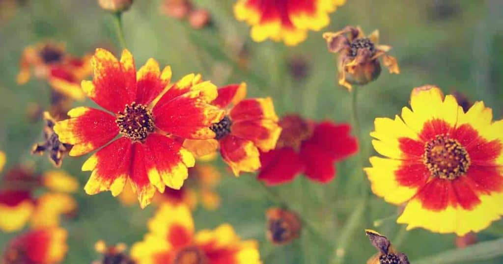 bright colored flowering coreopsis - tickseed