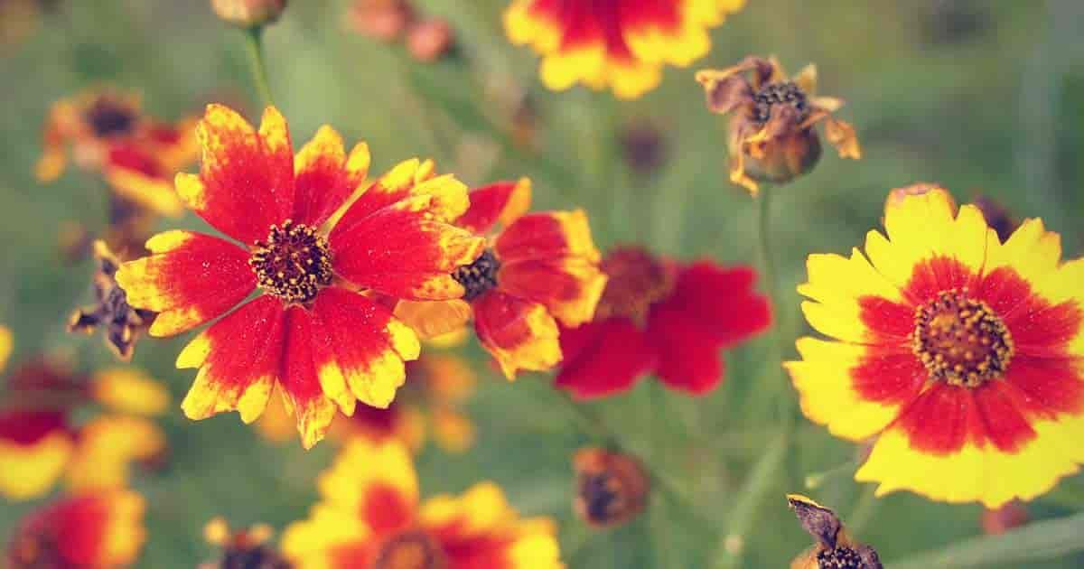 Flowering Coreopsis