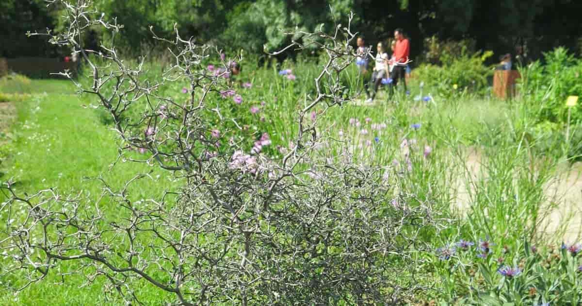 Corokia cotoneaster shrub