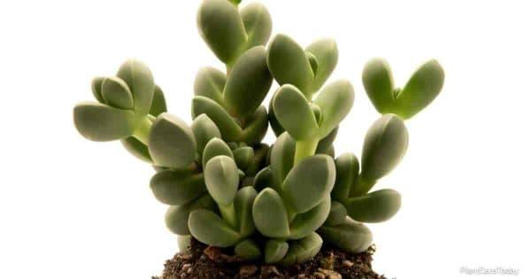 corpuscularia lehmannii plant