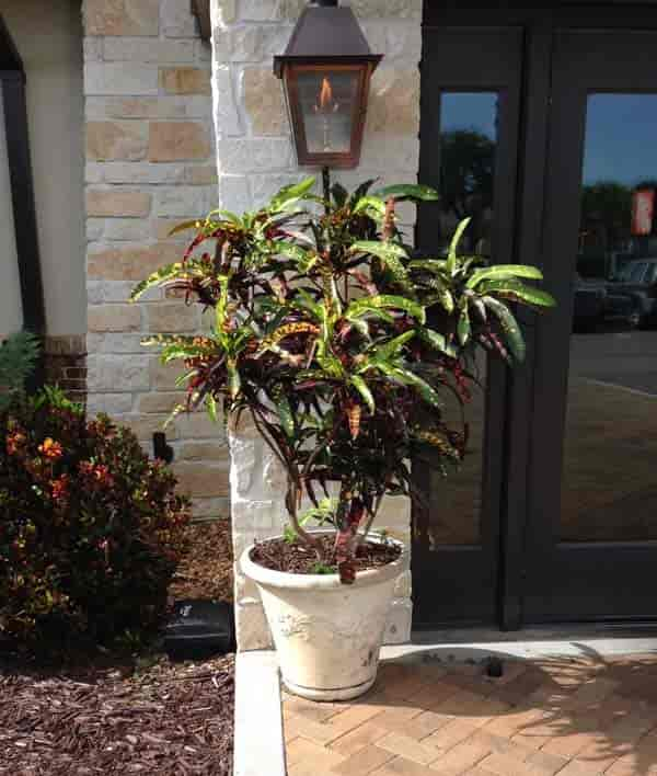 Croton grown as a tree outside Cheddar's Restaurant Tampa, Florida