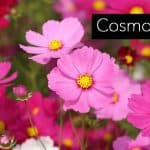 Cosmos Flower: Growing And Care For The Cosmos Plant [HOW TO]