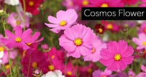 cosmos blooms attractive annual flowers for color
