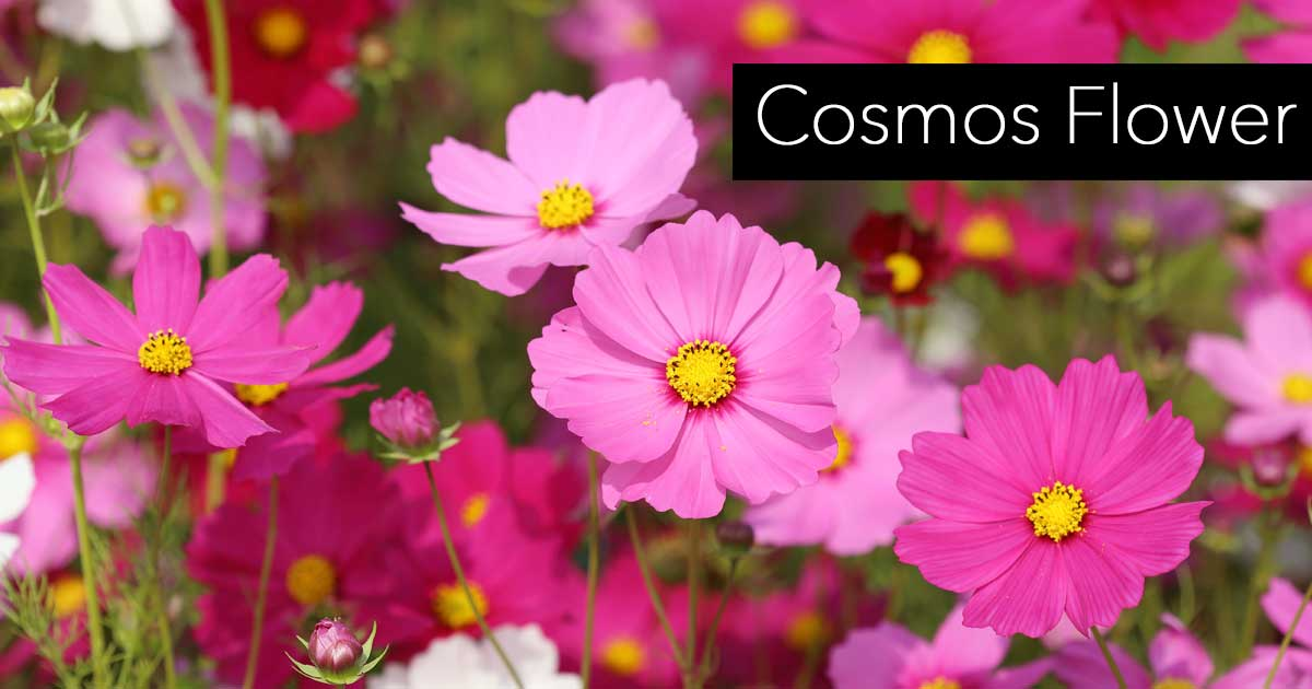 colorful cosmos flower