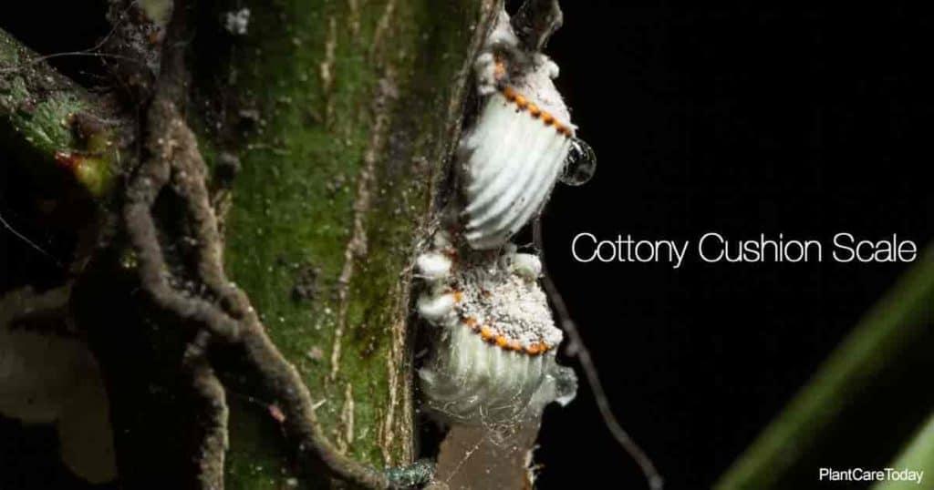 cottony cushion scale feeding on plant stem