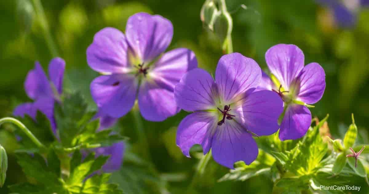 flowering Hardy Cranesbill Geranium