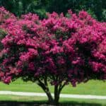 Growing Crepe Myrtle Trees: Caring Tips For Crepe Myrtle