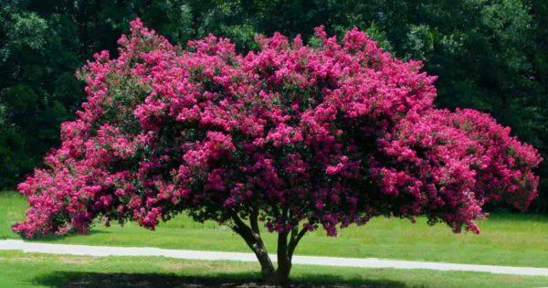 Blooming Crepe Myrtle Tree
