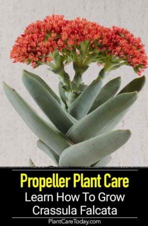 Flowering Crassula propeller plant