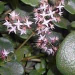 Crassula Multicava Care: How To Grow Fairy Crassula