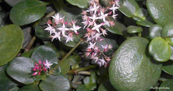 Flowers and foliage of Crassula Multicava aka Fairy Crassula