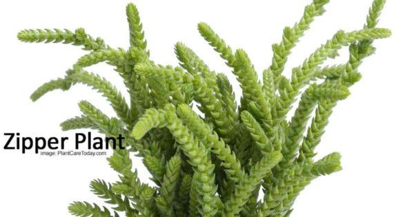 Watch chain plant - succulent mucosa watch chain plant