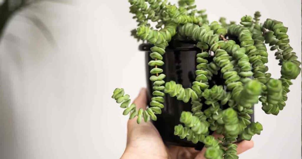 Potted baby necklace succulent plant