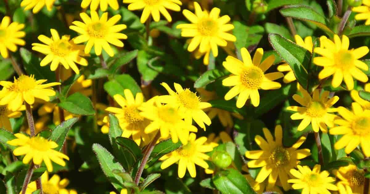 Bright flowers of the Creeping Zinnia (Sanvitalia)