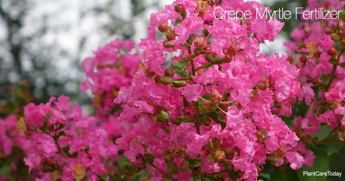 Colorful Crepe Myrtle trees need fertilizer for more blooms