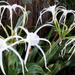 Blooming White Crinum Lily - Asiaticum