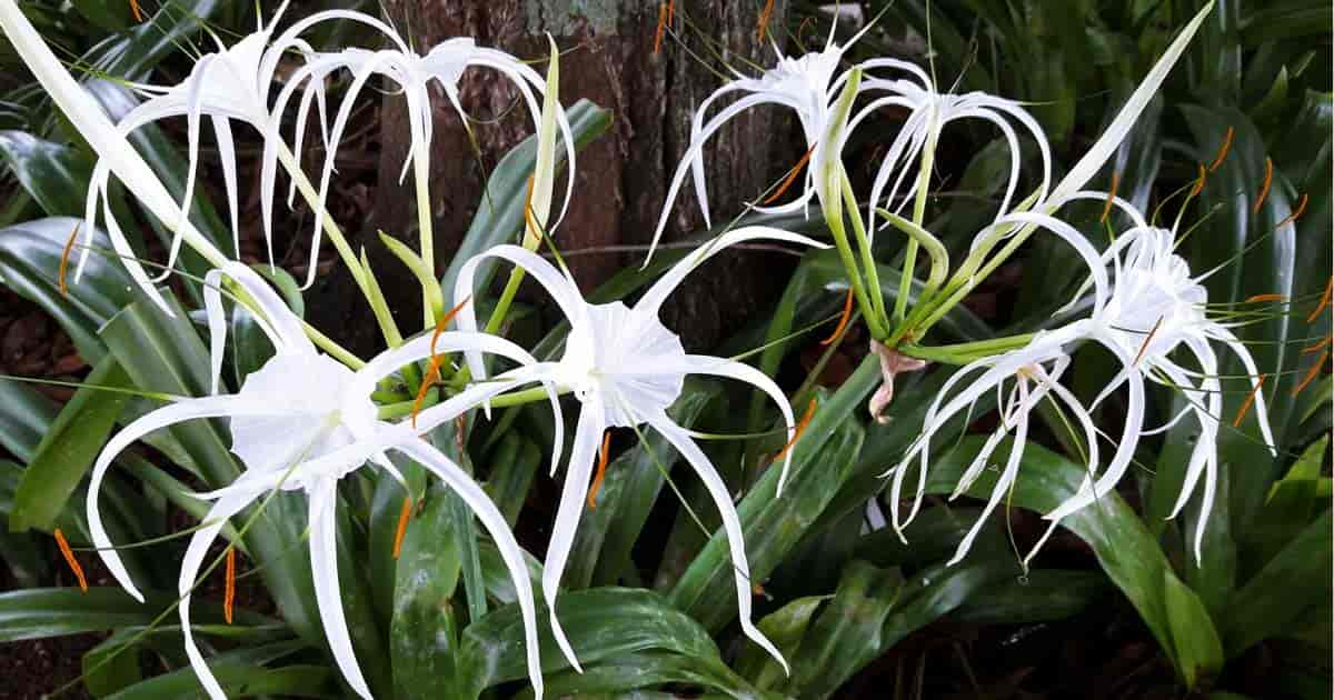 Blooming White Crinum Lily - Asiaticum