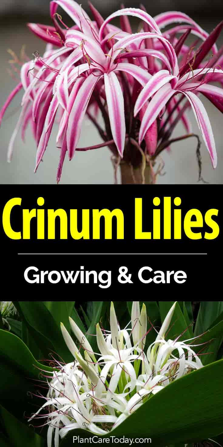 Crinum lily bulbs how to care for crinum lilies beautiful flowers of the crinum lily izmirmasajfo