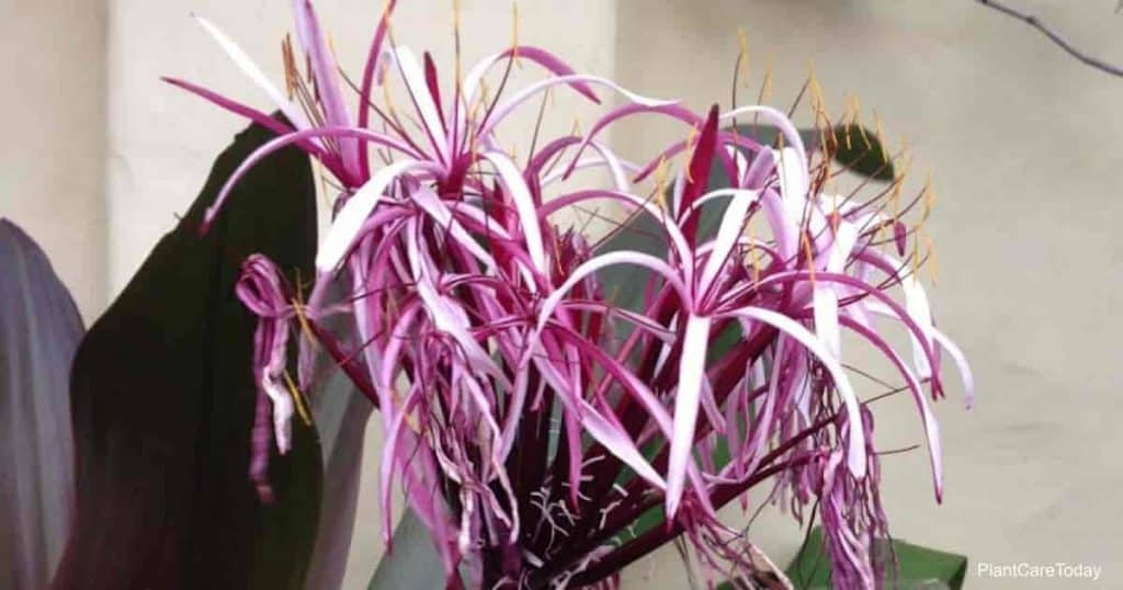 Flower of the crinum lily gives an exotic look at the landscape