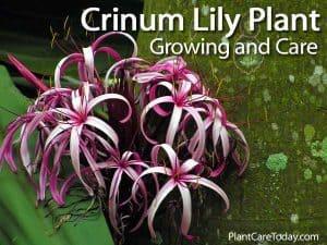 Flowering Crinum Lily