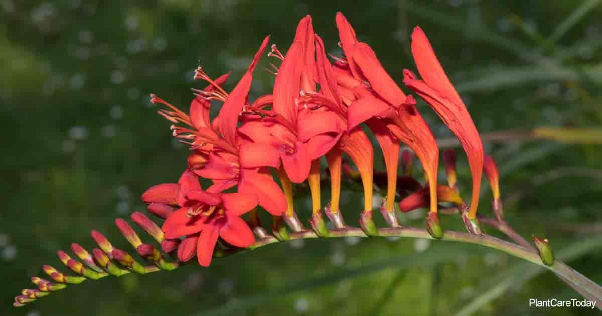 Flowering Crocosmia Bulbs aka Montbretia Lucifer Plant