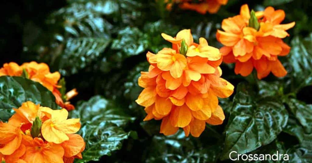 Flowering Crossandra infundibuliformis in the garden