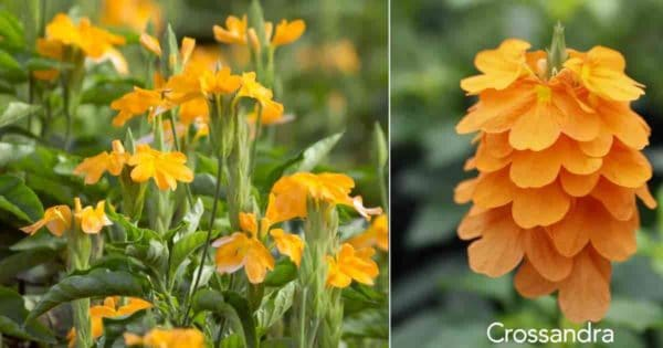 Flowers of the Crossandra plant