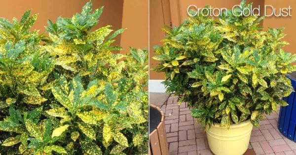 Gold Dust Croton Care: How To Grow Codiaeum Variegatum