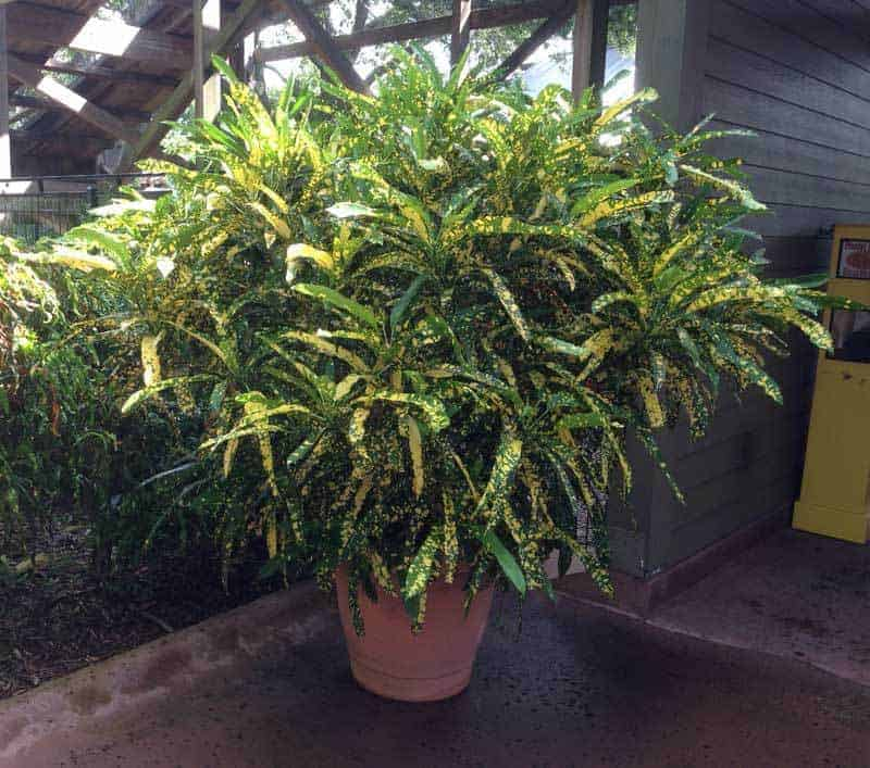 How to Care for a Croton Plant