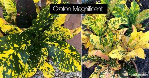 Colorful foliage of Croton Magnificent