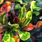 Growing Croton Mammy: How To Care For Colorful Codiaeum Mammy