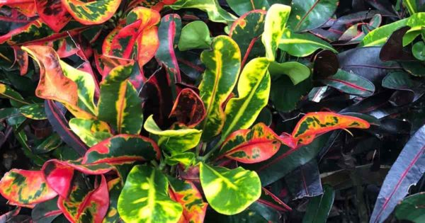 Colorful leaves of Croton Mammey