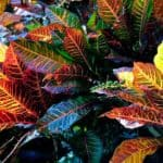 Croton Petra Care: Growing Petra Croton Plants
