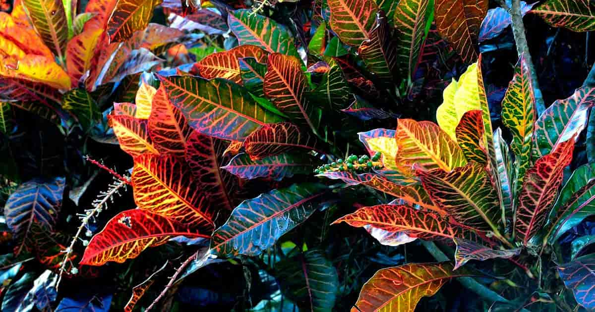 Croton plants have colorful leaves like this variety known as Petra