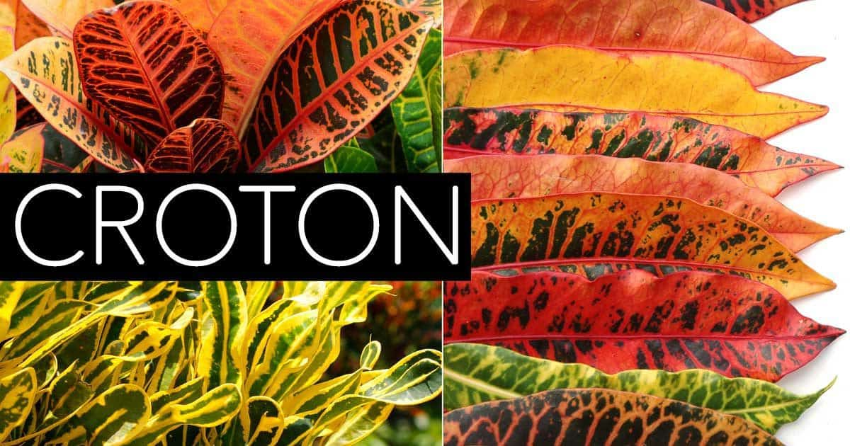 the right croton plant care produces leaves of colorful foliage