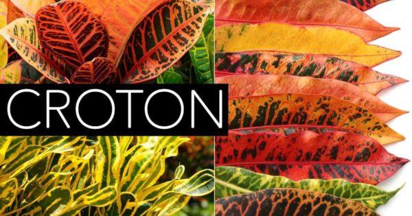 Bright colored foliage of the Croton Plant
