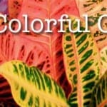 Crotons – Colorful Plants for Indoors Use