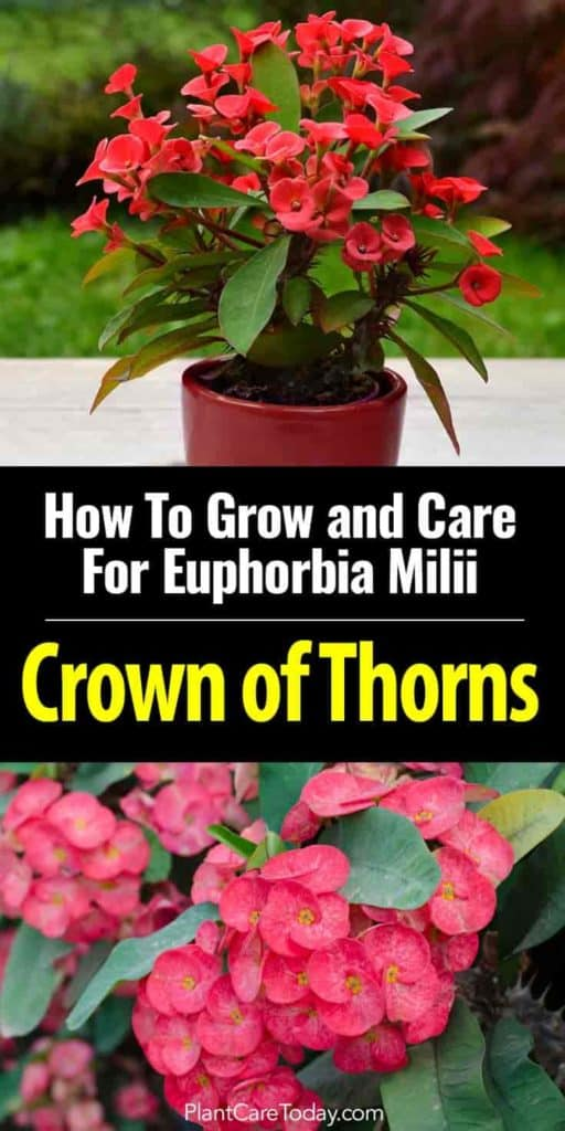 potted Crown of Thorns - Euphorbia milii - in flower